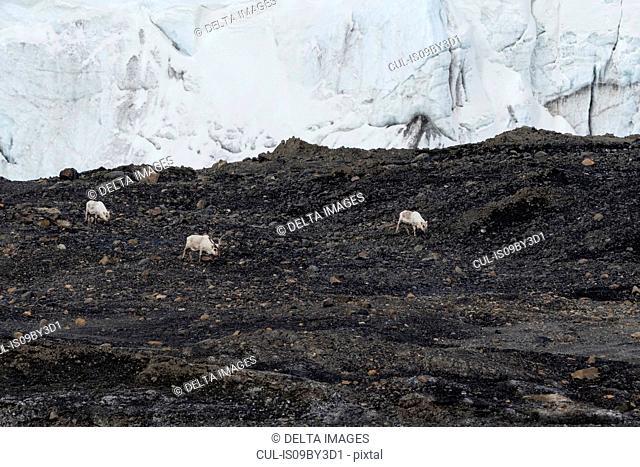 Svalbard reindeer (Rangifer tarandus) in glacier landscape, Barents Island, Svalbard, Norway