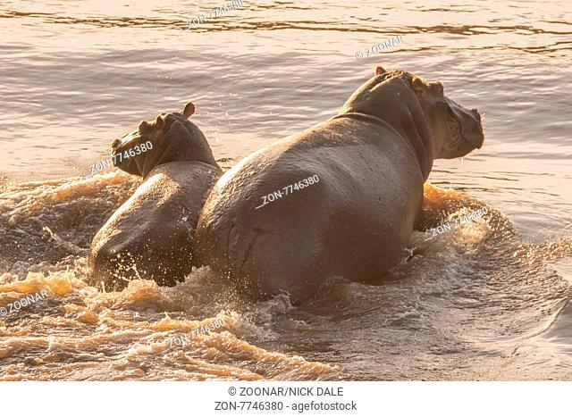 A female hippo wades through the Mara river with her calf, partly backlit in the late afternoon sunshine. They leave a wake behind them