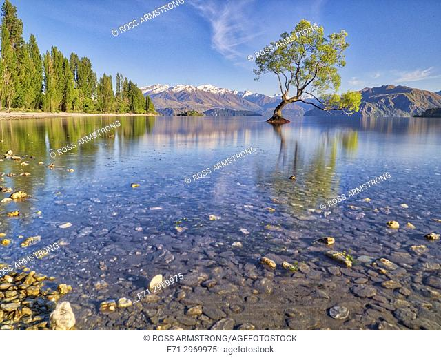 Lone willow tree growing in lake wanaka at sunrise. Lake Wanaka, South Island, New Zealand
