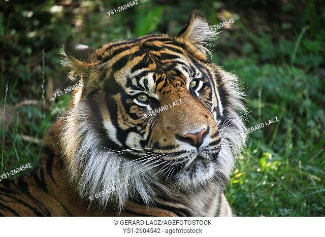 Sumatran Tiger, panthera tigris sumatrae, Portrait of Male, Asia