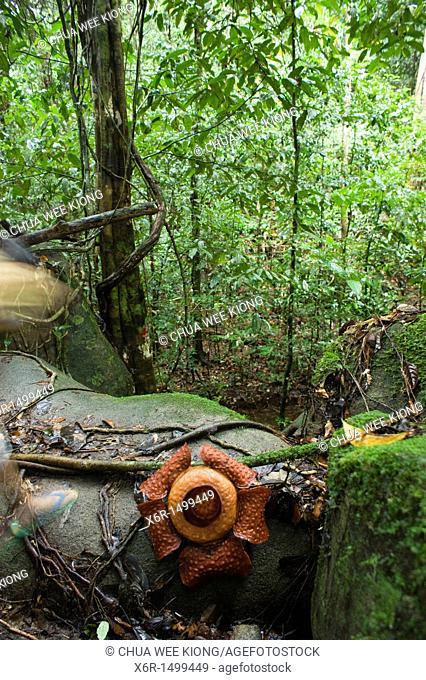 Rafflesia of Gunung Gading Sarawak Malaysia
