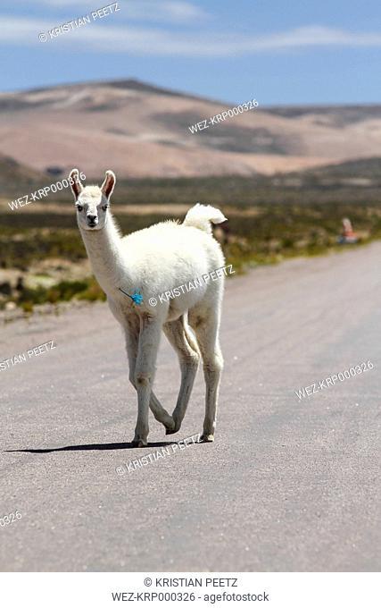 Peru, Andes, free-ranging llama (Lama glama) walking on country road