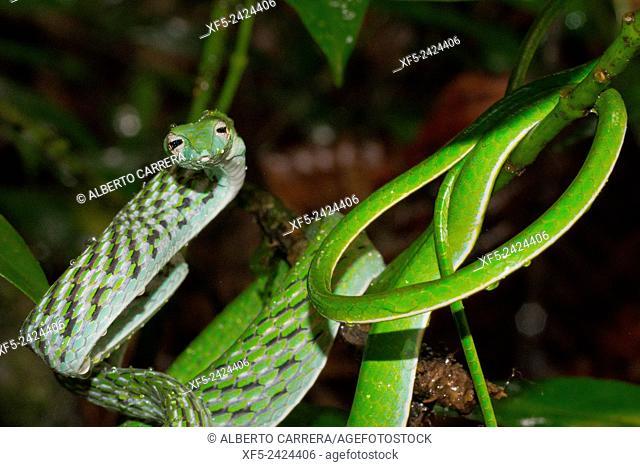 Green Vine Snake, Long-nosed Whip Snake, Ahaetulla nasuta, Sinharaja National Park Rain Forest, Sinharaja Forest Reserve, World Heritage Site, UNESCO