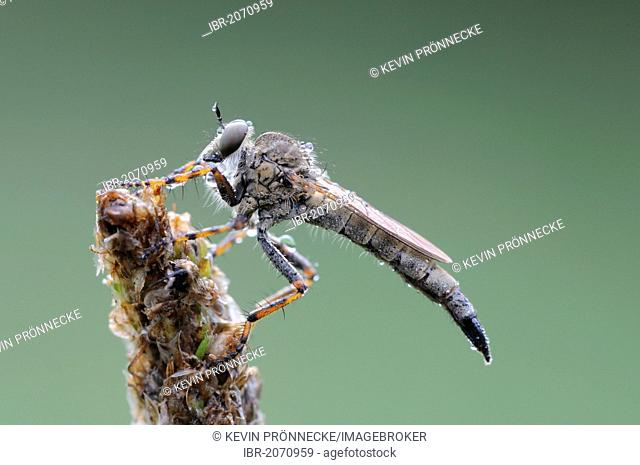Robber fly (Asilidae), Middle Elbe Biosphere Reserve, Central Elbe region, Saxony-Anhalt, Germany, Europe