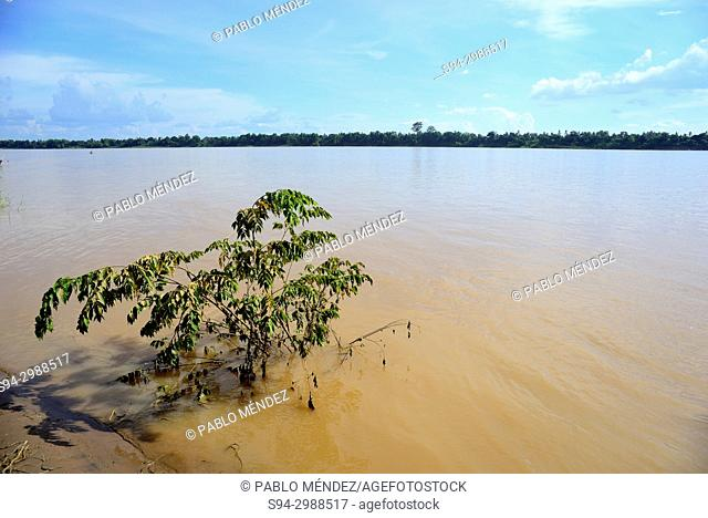 Small tree in the edge of Mekong river, Koh Trong island, Kratie province, Cambodia