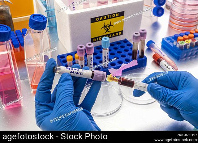 Scientist extracts mink blood sample in a laboratory, study of covid-19 infection in humans, conceptual image