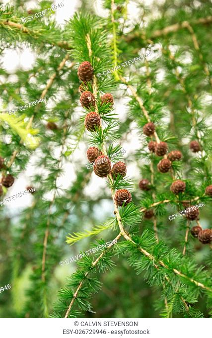 Larch tree with pine cones in the summer