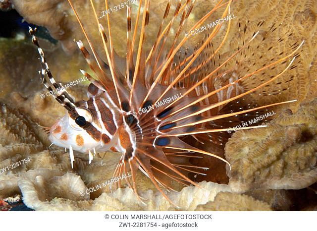 Spotfin Lionfish (Pterois antennata), Night dive, Sebayor Kecil dive site, between Komodo and Flores Islands, Komodo National Park, Indonesia