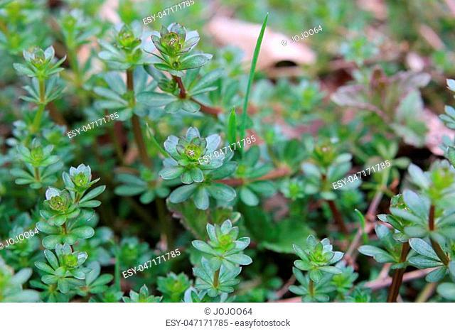 Macro of heath bedstraw (Galium saxatile) in spring