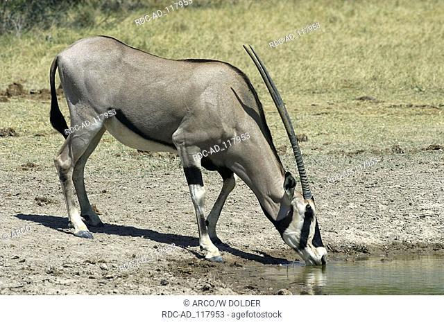 Oryx Samburu game reserve Kenya Oryx gazella Beisa Gemsbok