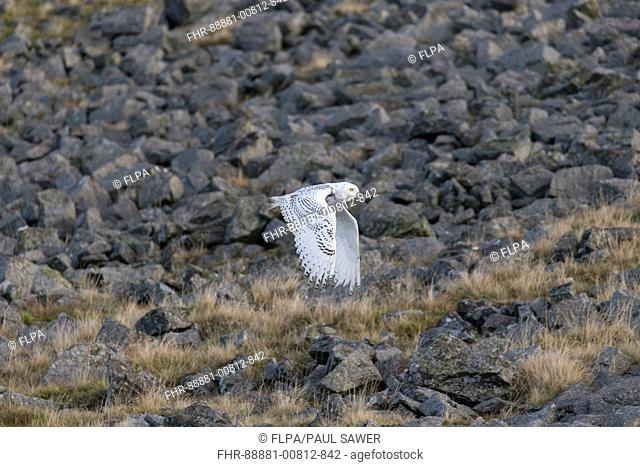 Snowy Owl (Nyctea scandiaca) immature male, flying over rocks in moorland, Peak District, Cumbria, England, November, controlled subject