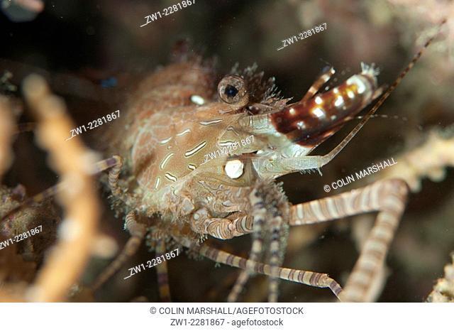 Marbled Shrimp (Saron sp.), Dusk dive, Lembeh Island Resort House Reef dive site, Lembeh Straits, Sulawesi, Indonesia