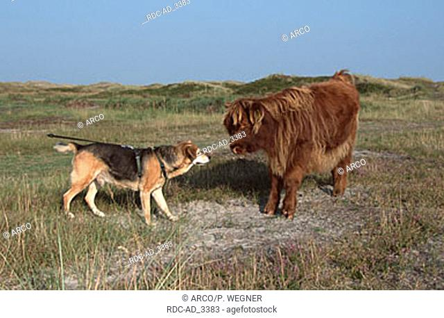 Mixed Breed Dog and Scottish Highland Cattle calf