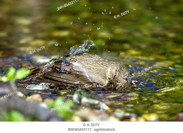 common rosefinch (Carpodacus erythrinus), grey male bathes in a brook, Germany, Mecklenburg-Western Pomerania