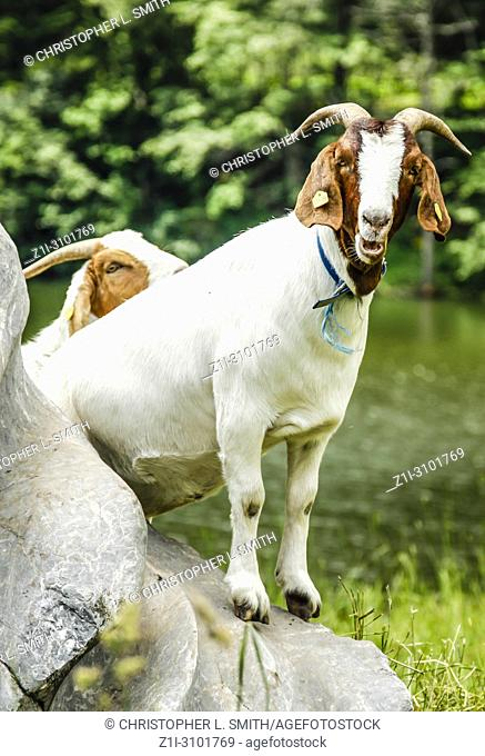 Alpine white goats chilling and doing their thing on a farm in the Austrian Alps