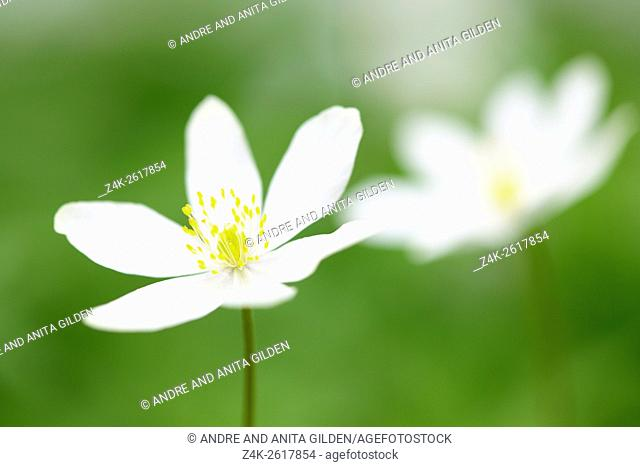 Wood Anemone (Anemone nemorosa), close-up with shallow depth of field, Haute Savoie, France