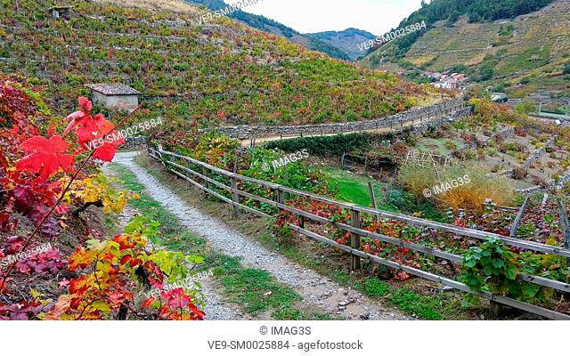 Track across the 'Mencía' variety vineyards in autumn, and Belesar in background, Chantada municipality, Ribeira Sacra, Lugo, Spain