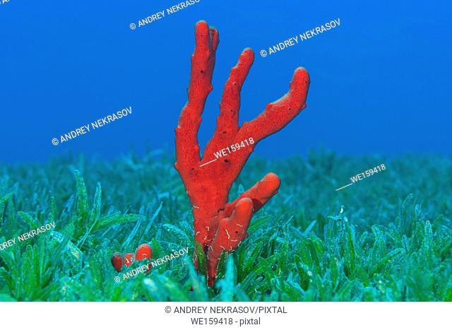 Red toxic finger-sponge (Negombata magnifica) in the sea grass