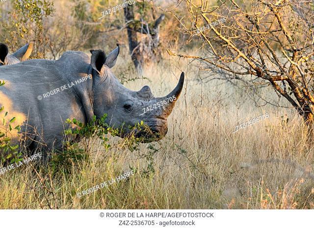 White rhinoceros or square-lipped rhinoceros or rhino (Ceratotherium simum). Kruger National Park. Mpumalanga. South Africa