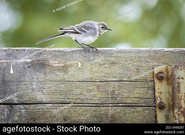 White Wagtail (Motacilla alba) juvenile perched on a wooden trailer. Nemunas Delta. Lithuania