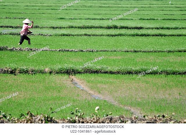 Hoi An (Vietnam): a woman working in a rice field