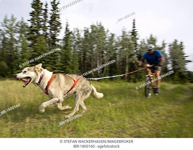 Alaskan Husky, pulling a mountain bike, man bikejoring, bikejoering, dog sport, dry land sled dog race, Yukon Territory, Canada