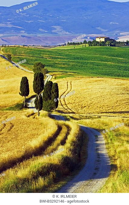 Italian cypress (Cupressus sempervirens), Cypresses by the wayside at Terrapille, Italy, Tuscany, Pienza