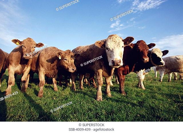 Cows in a field, Portpatrick, Scotland