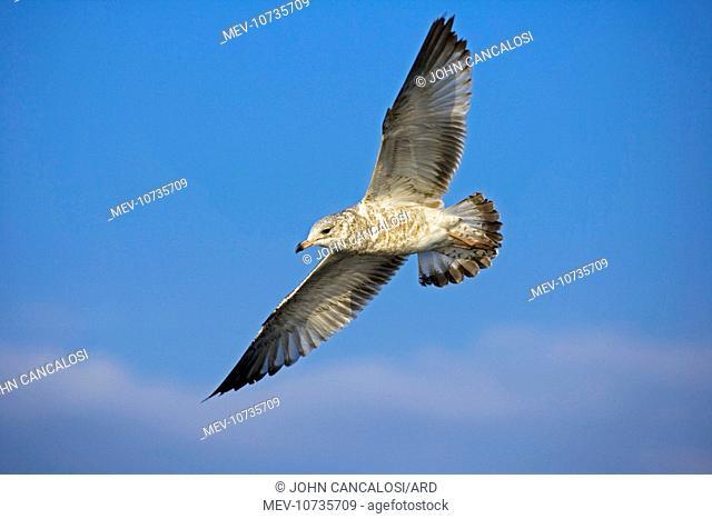 Ring-billed Gull Juvenile - Soaring (Larus delawarensis)