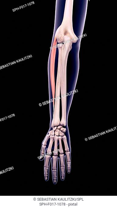 Illustration of the extensor carpi radialis longus muscle