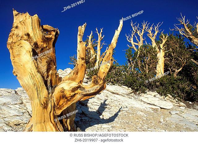 Ancient Bristlecone Pines in the Patriarch Grove, Ancient Bristlecone Pine Forest, White Mountains, California USA