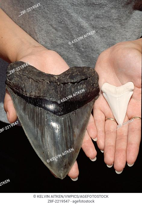 Teeth of extinct Megalodon Shark (Charcharodon megalodon) and 5m (16 foot) Great White Shark (Charcharodon carcharias)