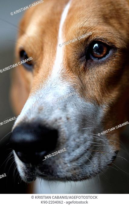 Close up image of the snout and eye of a male tricolor Beagle, Berlin, Germany, Europe
