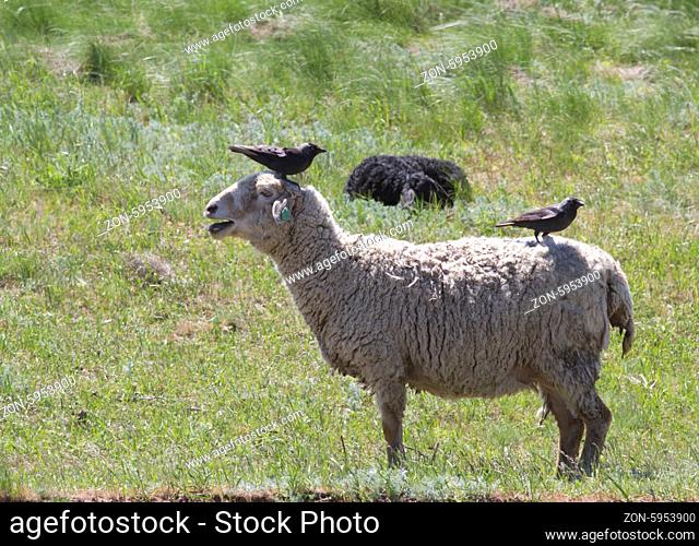 Sheep in the wilderness in which sit two rooks