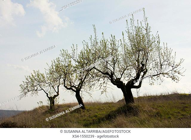 Prunus dulcis.Old almond trees sprouting again in spring and keep the almonds from the previous season.Photo taken in Pinós, Lleida, Catalonia, Spain, Europe