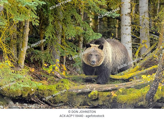 Grizzly bear, Ursus arctos, Yearling cub standing on the shore of the Chilko River, Chilcotin Wilderness, BC Interior, Canada