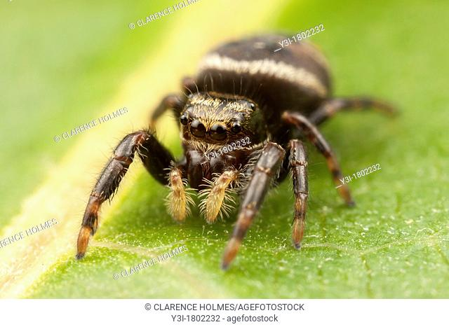 Jumping Spider Phidippus clarus - Immature Female, Ward Pound Ridge Reservation, Cross River, New York, USA