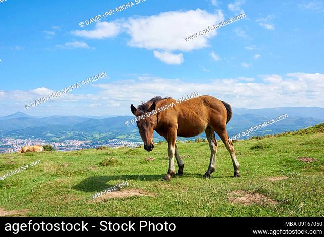 Horse foals (Equus ferus caballus) are standing on an alpine meadow at the Jizkibel mountain on the Way of Saint james, Basque Country, Spain