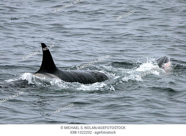A pod of 6 'Type A' Orcas Orcinus orca with a freshly killed Minke Whale in Antarctica  No displays after the kill were witnessed