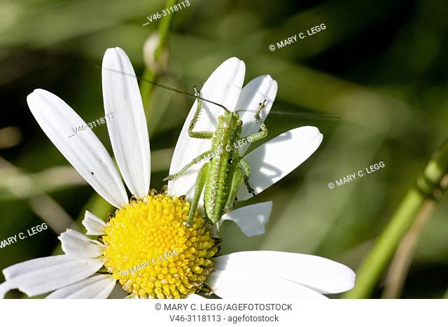 """Great Green Bush Cricket, Tettigonia viridissima. Adult size: 28â. """"36mm. Carnivorous, eating other insects and larvae. pest of field crops: wheat, barley, corn"""
