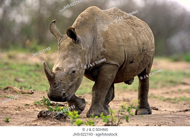 White Rhinoceros, Square-Lipped Rhinoceros, (Ceratotherium simum), adult male walking searching for food, Hluhluwe Umfolozi Nationalpark