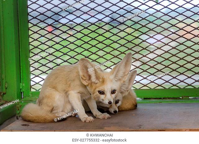 Fennec fox resting on its bed
