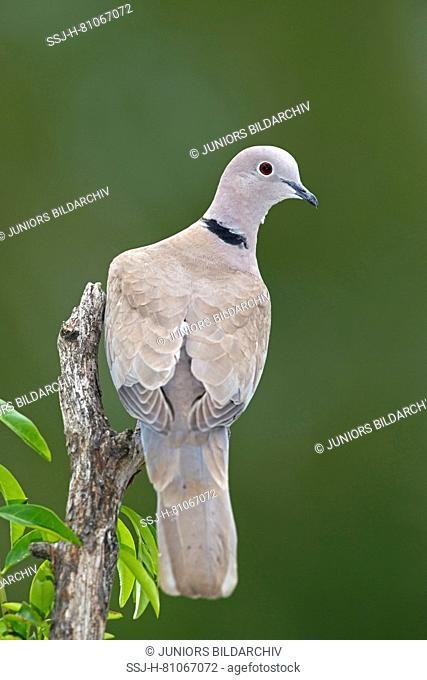 Eurasian Collared Dove (Streptopelia decaocto). Adult perched on broken-off branch. Austria