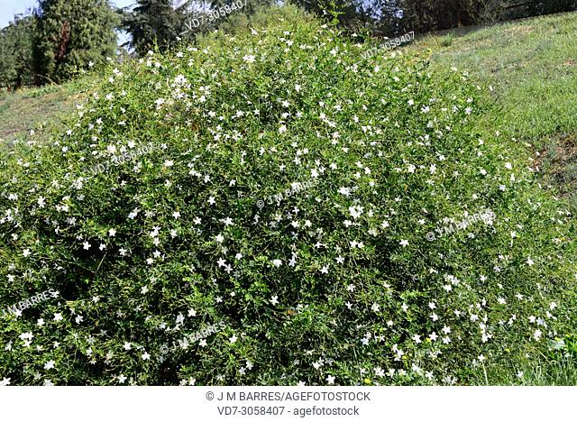 Jasmine (Jasminum officinale) is a deciduous shrub native to Asia but widely cultivated and naturalizated in others regions for its medicinal and cosmetic...