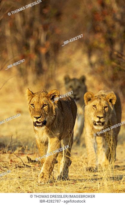 Lion (Panthera leo), three subadult male cubs walking, Savuti, Chobe National Park, Botswana
