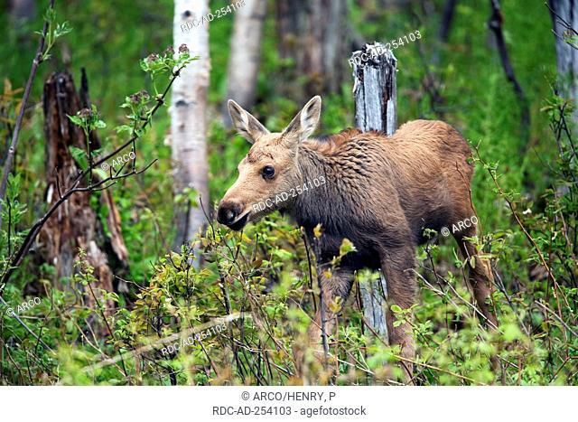 Moose calf Gaspesie national park Quebec Canada Alces alces
