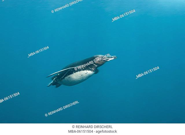 Galapagos Penguin, Spheniscus mendiculus, Punta Vicente Roca, Isabela Island, Galapagos, Ecuador