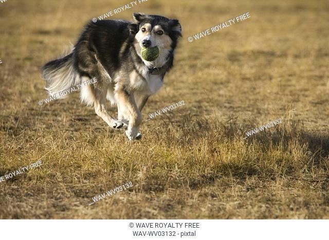 Black and white mixed breed dog running, Canada, Alberta