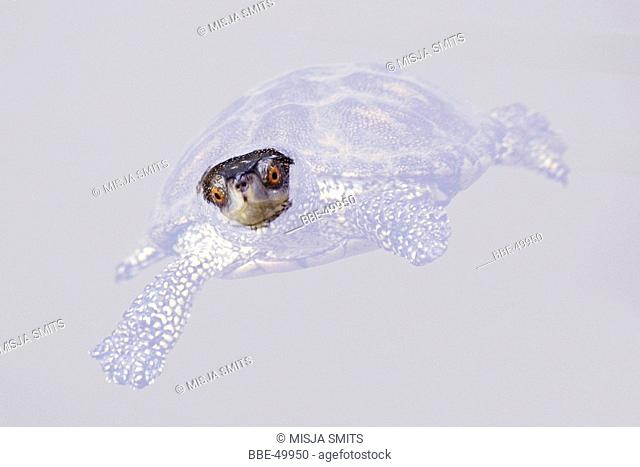 European pont terrapin looks into the lens while he is lying motionless in the water