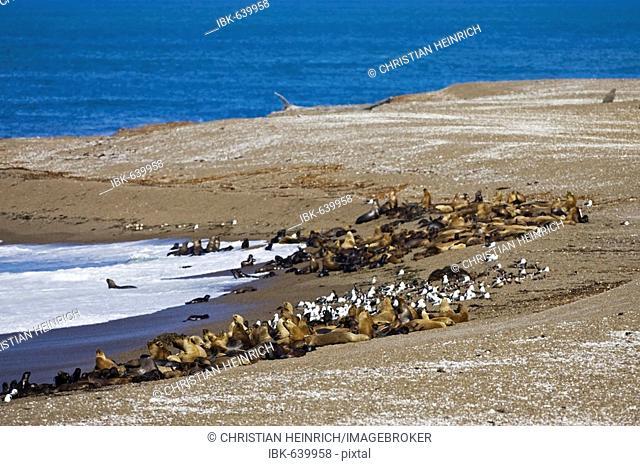 Southern Sea Lion colony (Otaria flavescens), beach Punta Norte, peninsula Valdes, Patagonia, east coast, Atlantic Ozean, Argentina, South America